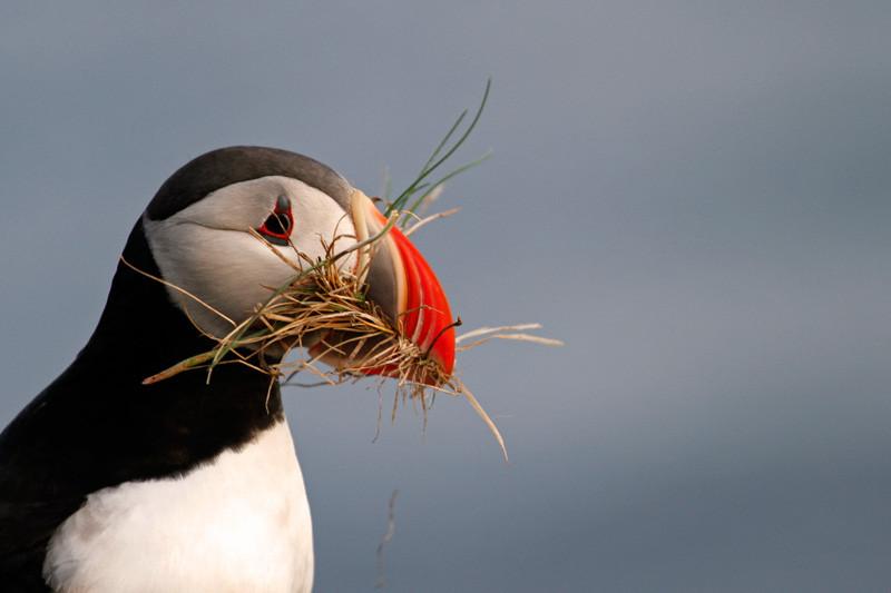 Papageitaucher, Westfjorde, Island | Photo: Michael Sandner