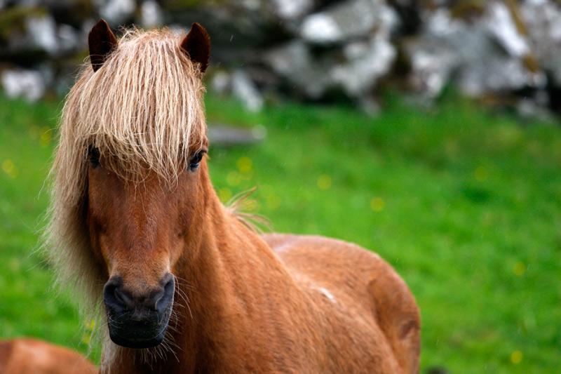 Pferde in der Nähe von Vágur | Färöer | Photo: Michael Sandner